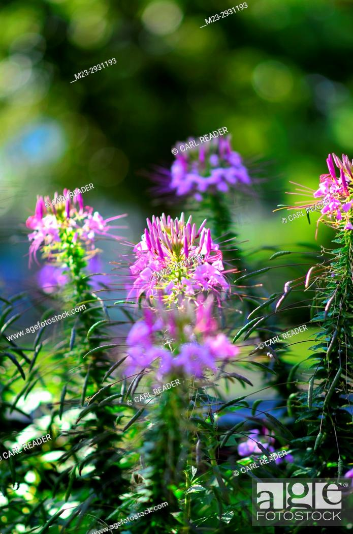 Stock Photo: Cleome in soft focus catch the sunlight, Pennsylvania, USA.