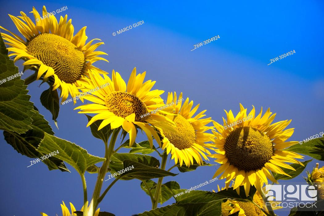 Stock Photo: The yellow flower of the sunflower in the blue sky. Italy.