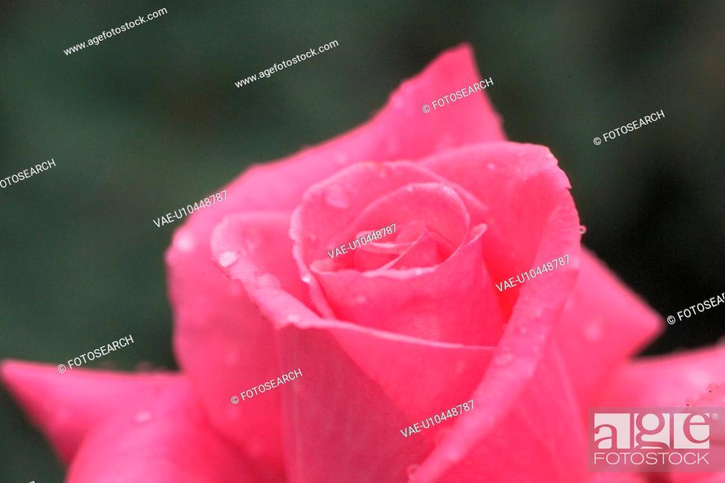 Stock Photo: flowers, plant, plants, rose, flower, bloom, nature.
