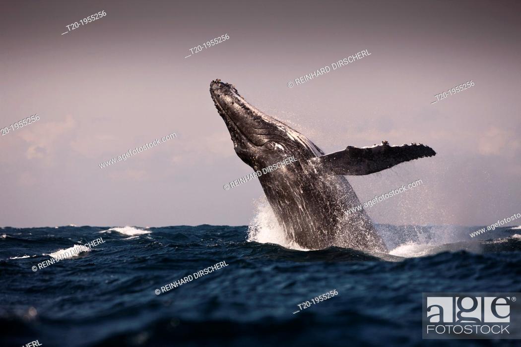 Stock Photo: Breaching Humpback Whale, Megaptera novaeangliae, Indian Ocean, Wild Coast, South Africa.
