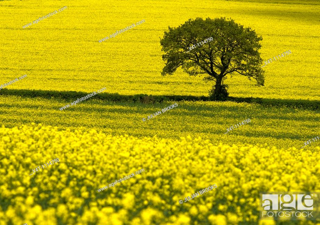 Stock Photo: A single tree standing out against yellow oil-seed rape fields in the Cotswolds.