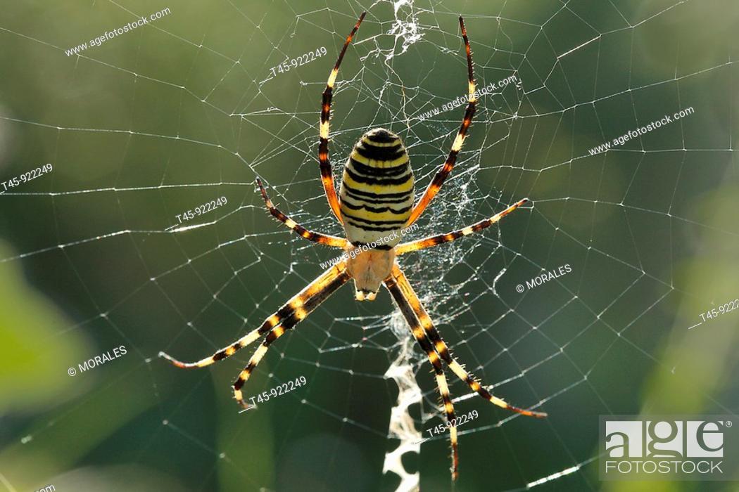 Stock Photo: Wasp spider (Argiope bruennichi), female. Vaucluse, Provence, France.