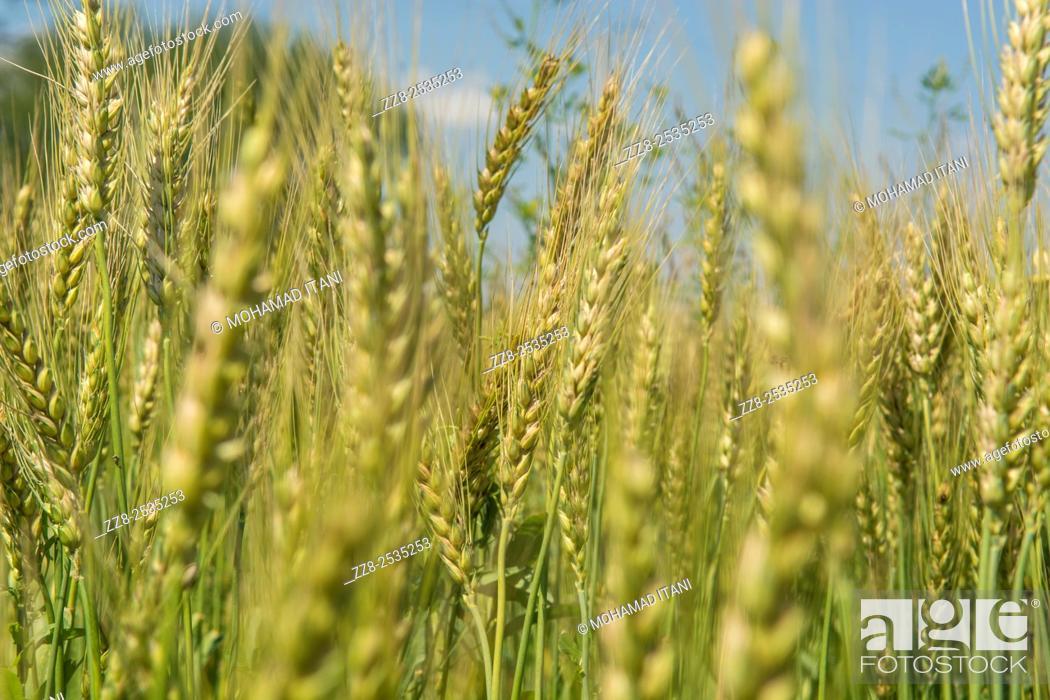 Stock Photo: Wheat field Jhelum Pakistan.