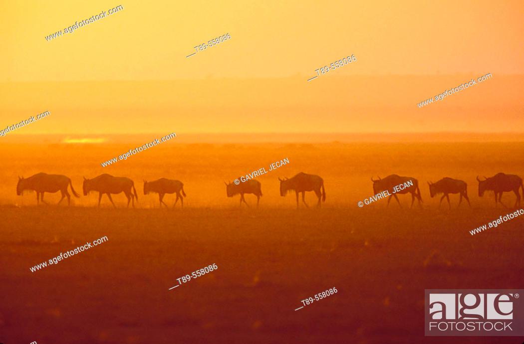 Stock Photo: AFRICA, Kenya, Masai Mara Wildebeest Migration.