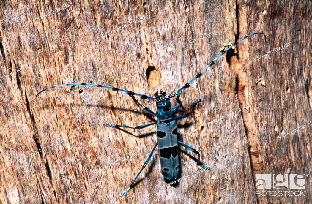 Stock Photo: Longhorn Beetle (Rosalia alpina). Potes, Cantabria, Spain.