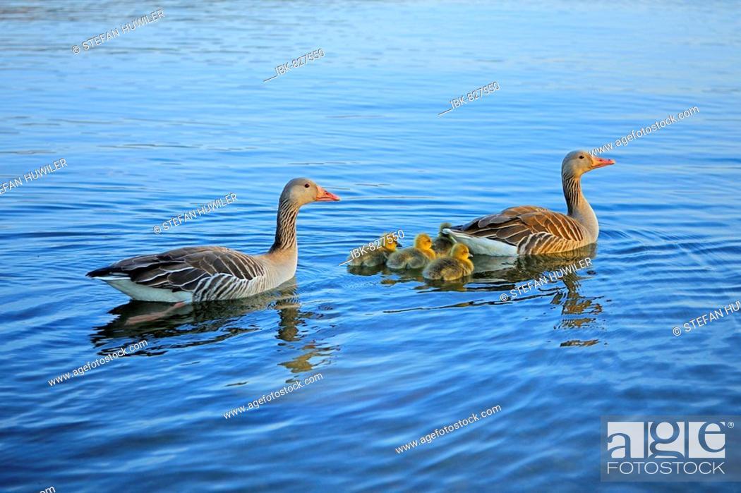 Stock Photo: Greylag Goose (Anser anser) family, goslings.