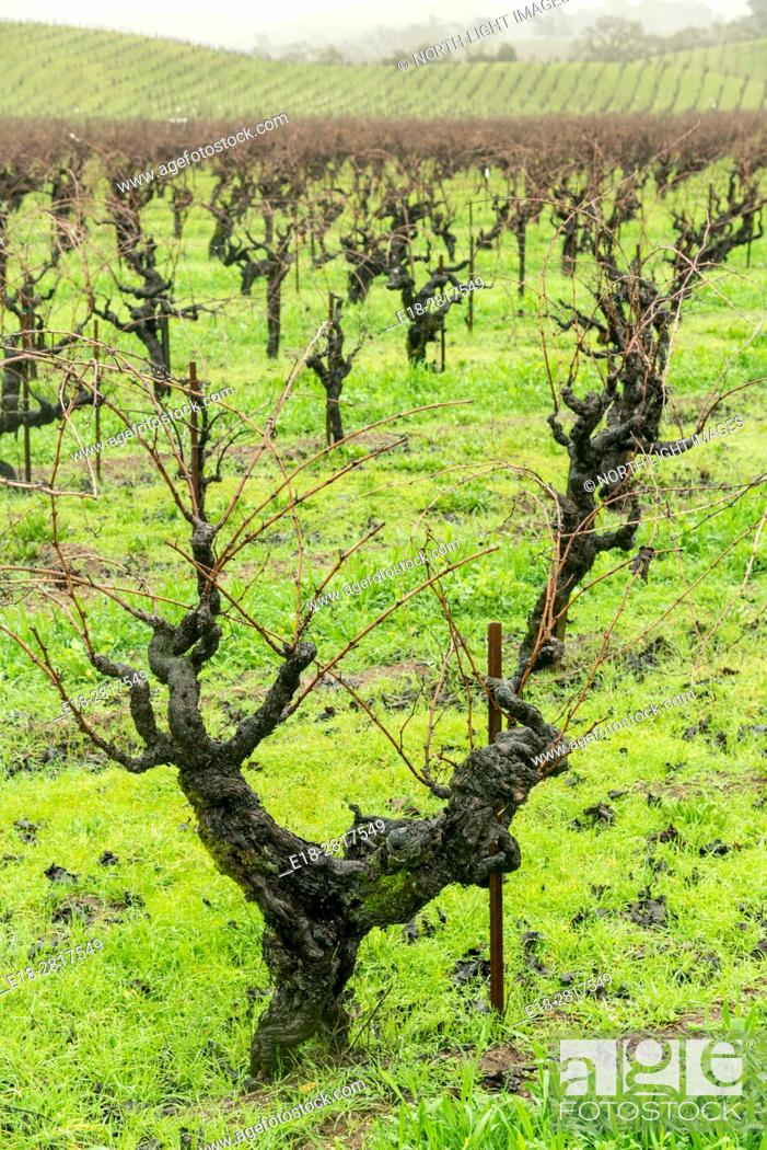 Stock Photo: USA, CA, Healdsberg. Heavily pruned vineyards in the wintertime. The Sonoma Valley wine region is famous for making fine Zinfandel.