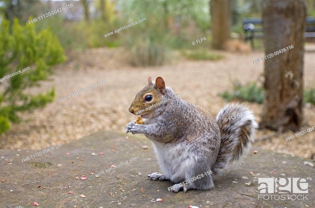 Stock Photo: Eastern Grey Squirrel Sciurus carolinensis introduced species, adult, feeding in urban park, Norfolk, England, april.
