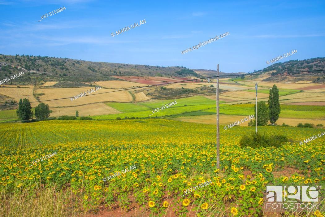 Stock Photo: Sunflowers field. Guadalajara province, Castilla La Mancha, Spain.
