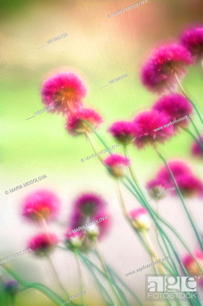 Stock Photo: Pink Flowers. April 2008. Maryland, USA.