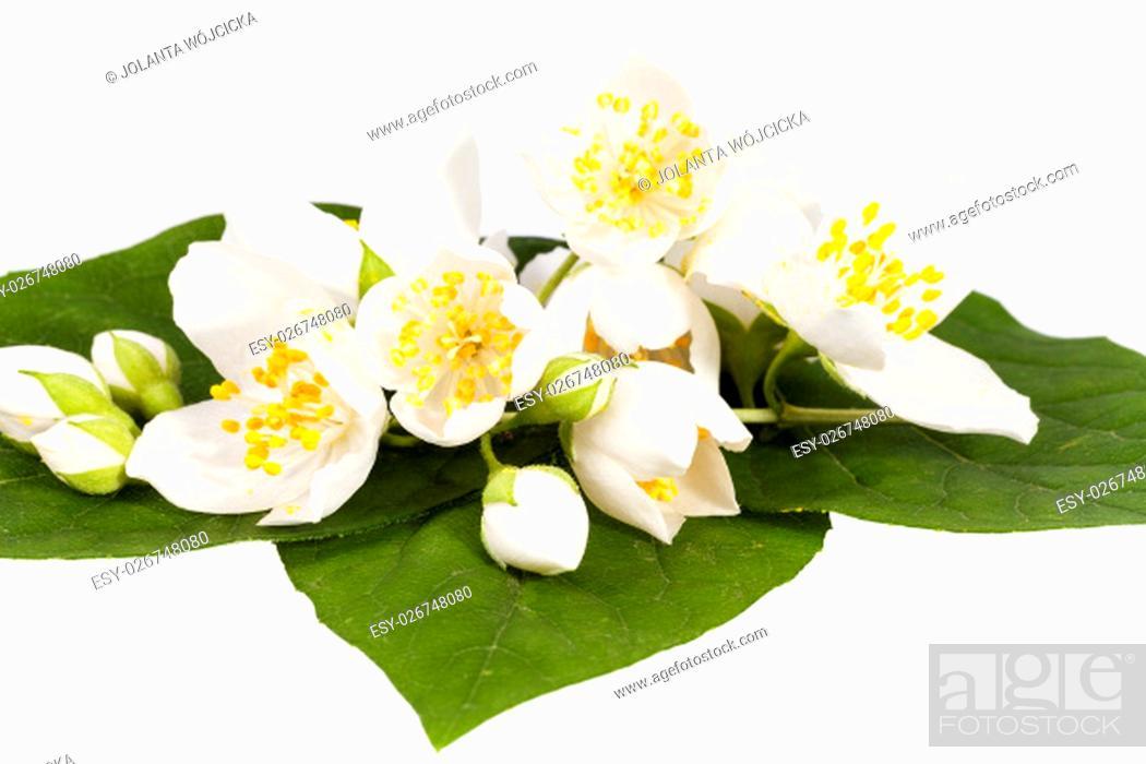 Stock Photo: Jasmine flowers on isolated on white background, close up.