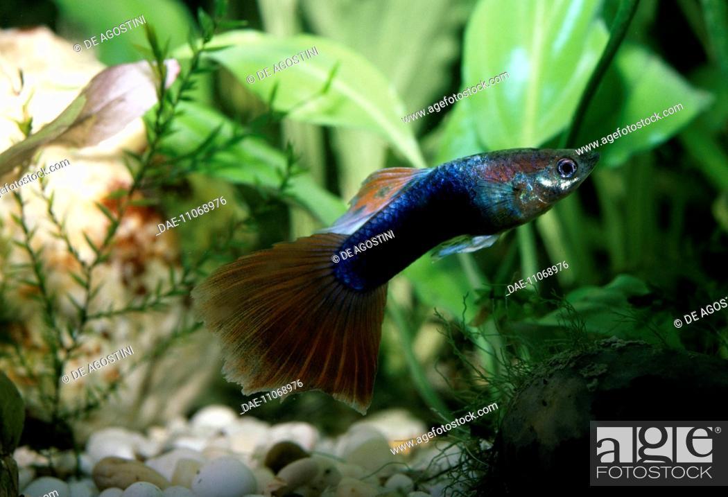 Stock Photo: Guppy (Lebistes reticulatus), Poeciliidae, in aquarium.