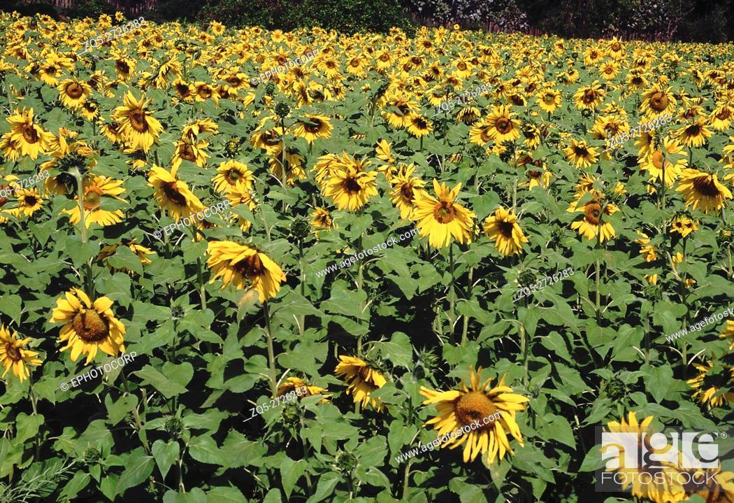 Stock Photo: Sunflower. Flowering crop in field.