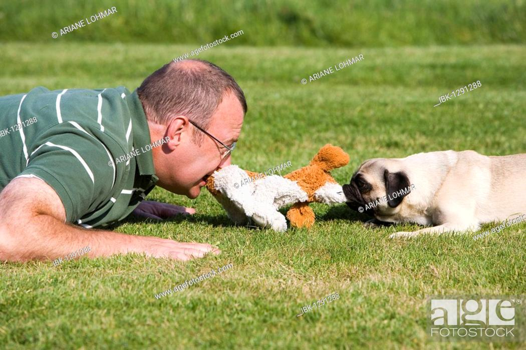 Stock Photo: A young male pug and his keeper playing happily in a meadow with a plush toy.