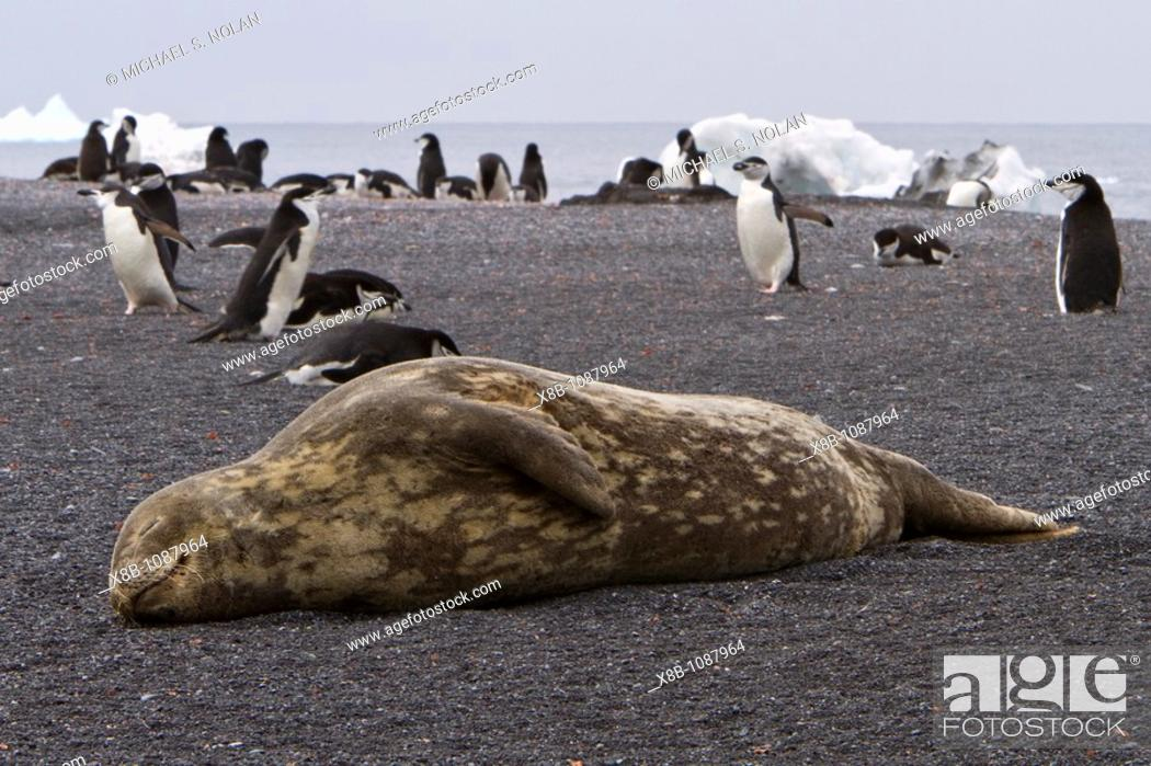 Imagen: Adult Weddell seal Leptonychotes weddellii hauled out near the Antarctic Peninsula, Southern Ocean  MORE INFO This is the most southerly breeding seal in the.