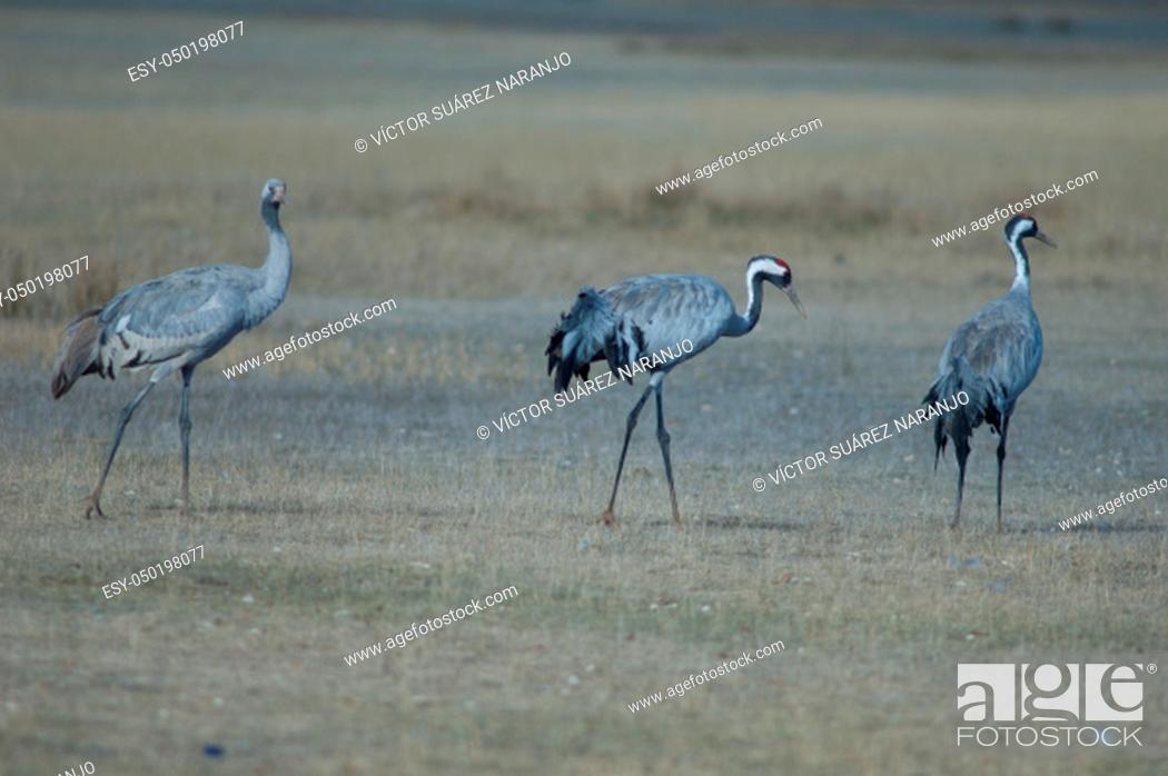 Stock Photo: Common cranes (Grus grus). Two adults and one juvenile. Gallocanta Lagoon Natural Reserve. Aragon. Spain.