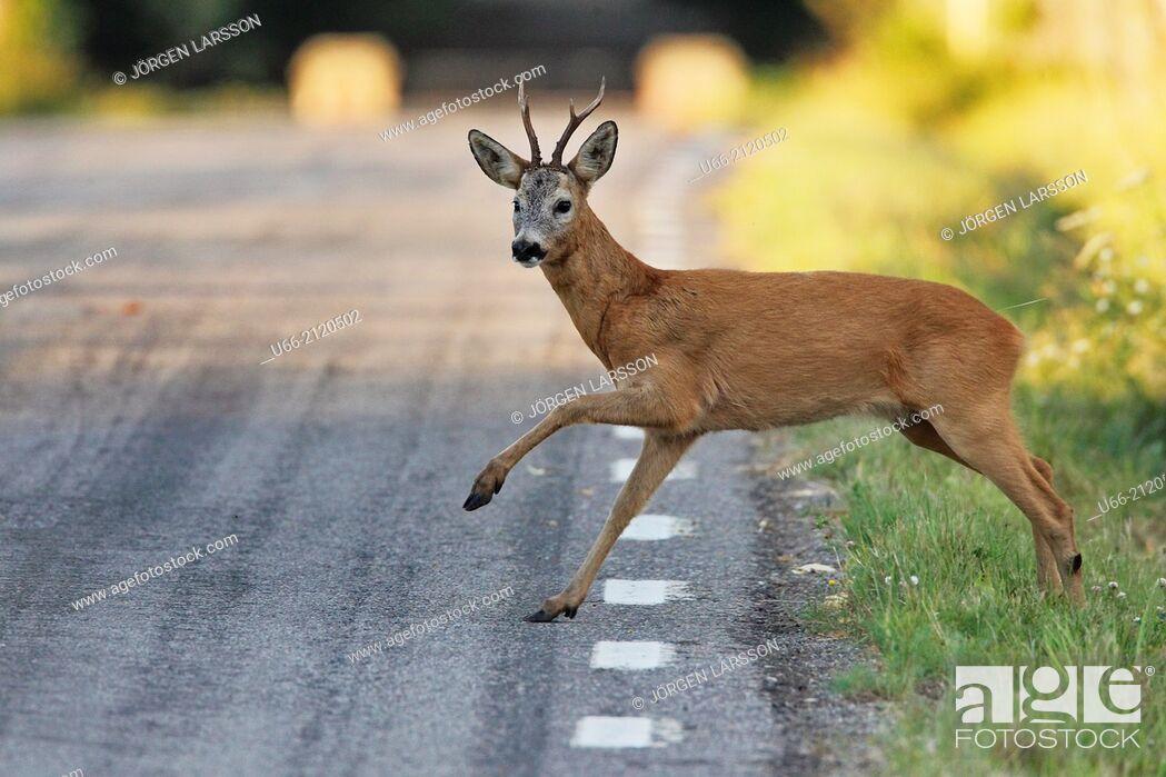Stock Photo: Roe deer buck jumping over road, Botkyrka, Stockholm, Sweden.