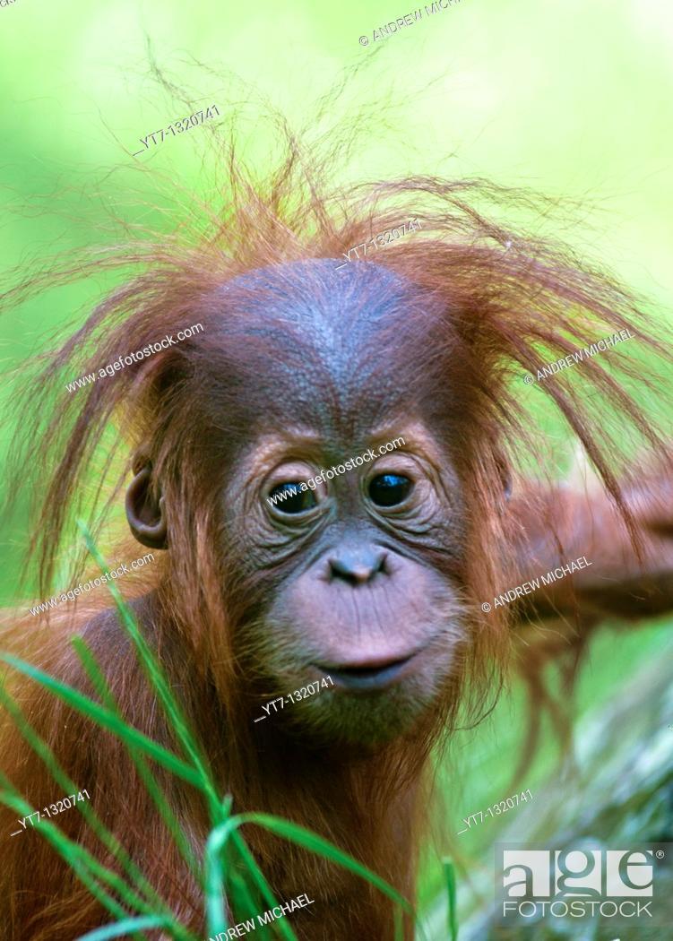 Stock Photo: Baby Orangutan Pongo pygmaeus up close.