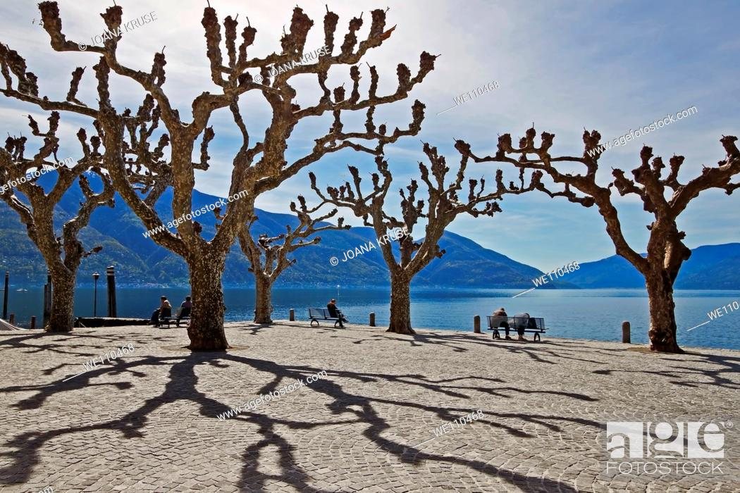 Stock Photo: sycamore trees in Ascona - Ticino.