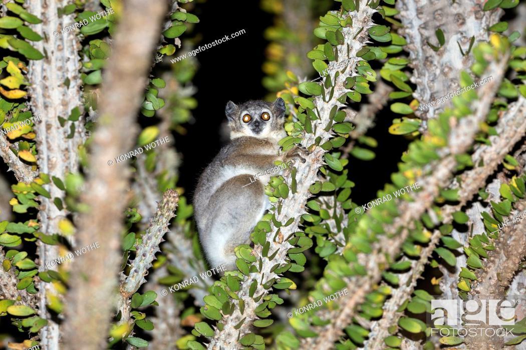 Stock Photo: White-footed Sportive Lemur in Alluaudia procera tree, Lepilemur leucopus, Berenty Reserve, South Madagascar, Africa.