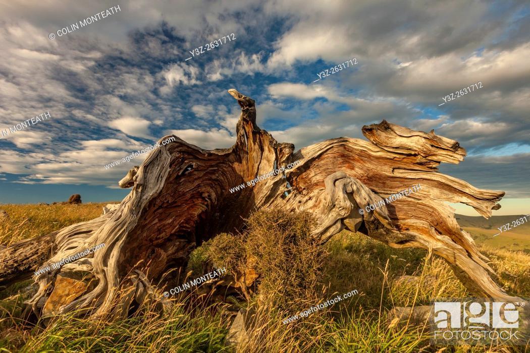 Imagen: Totara stump above Akaroa harbour, Banks Peninsula, near Christchurch, Canterbury.