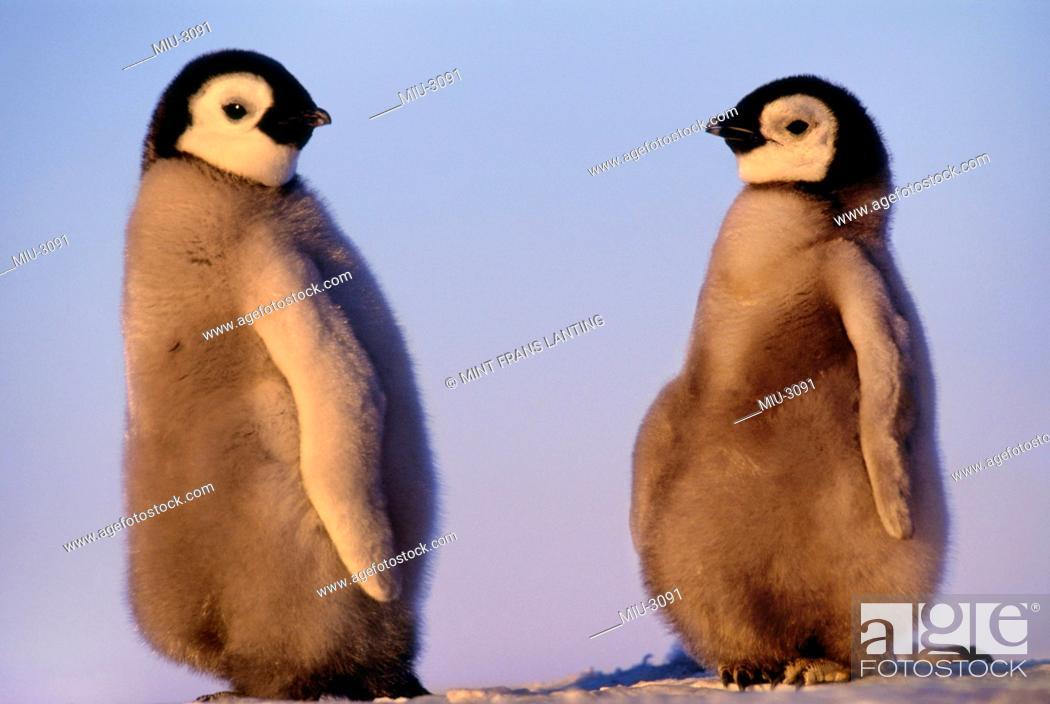 Stock Photo: Emperor penguin chicks, Aptenodytes forsteri, Antarctica.