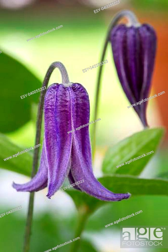 Stock Photo: Clematis integrifolia flower with green foliage in the garden.