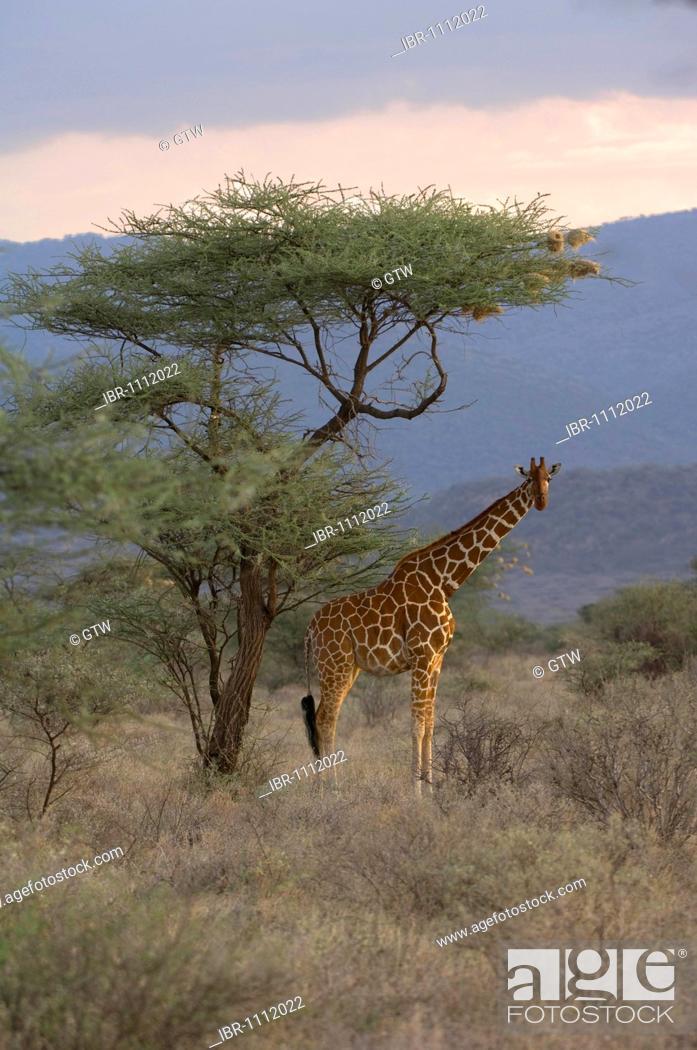 Stock Photo: Reticulated Giraffe (Giraffa camelopardalis reticulata) in the savannah, Samburu National Park, Kenya, East Africa.