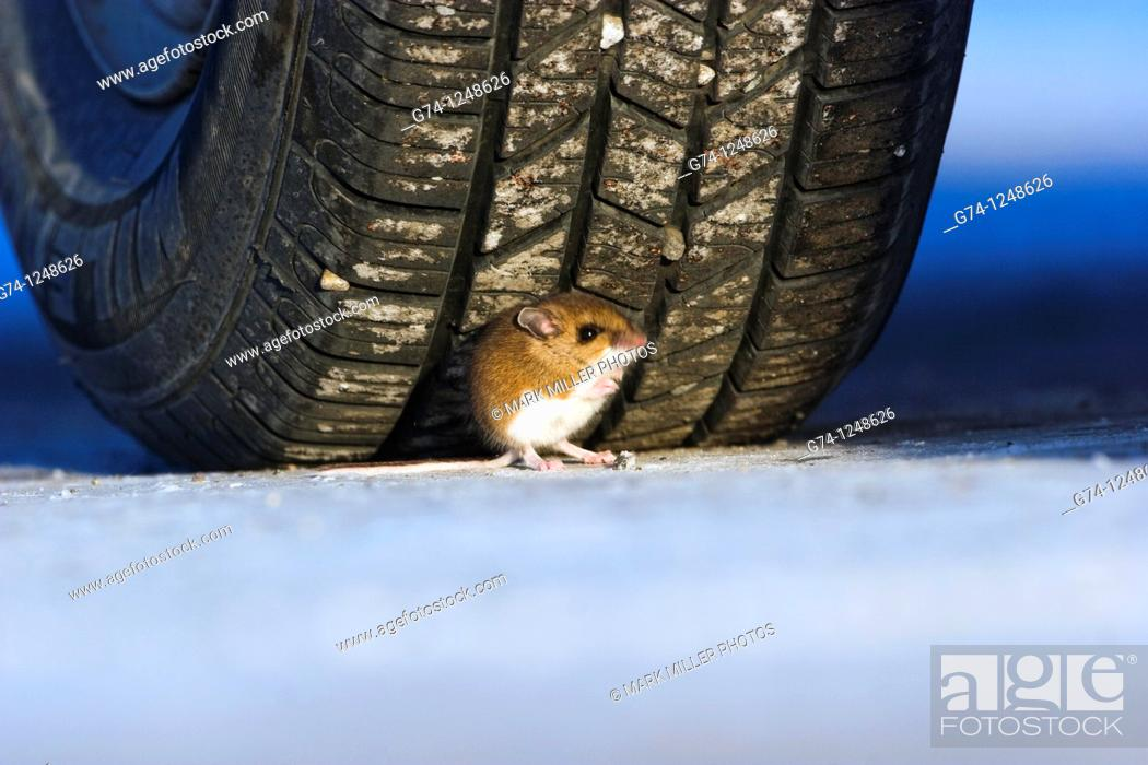 Stock Photo: Mouse Seeking Refuge in Wrong place- Under the tire wheel Yellowstone National Park, USA.