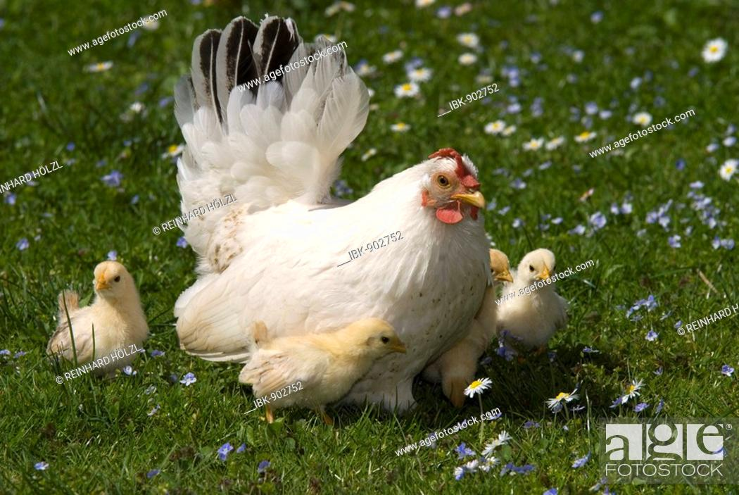 Stock Photo: Japanese Bantam or Chabo hen with chicks, Schwaz, Tyrol, Austria, Europe.
