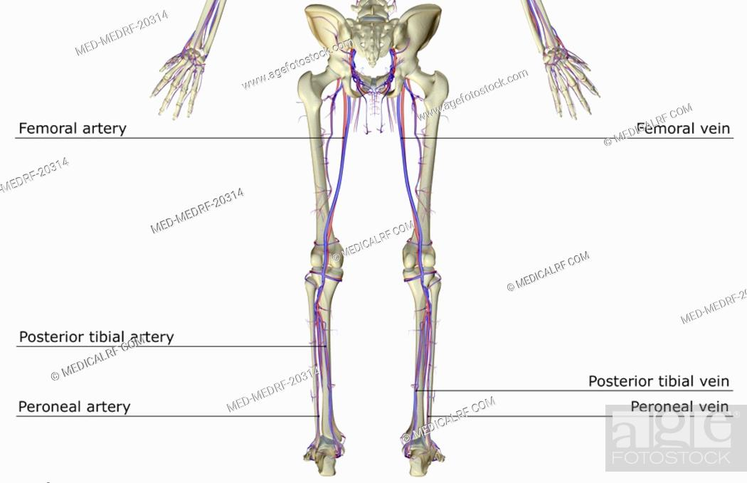 Posterior Tibial Artery Stock Photos And Images Age Fotostock