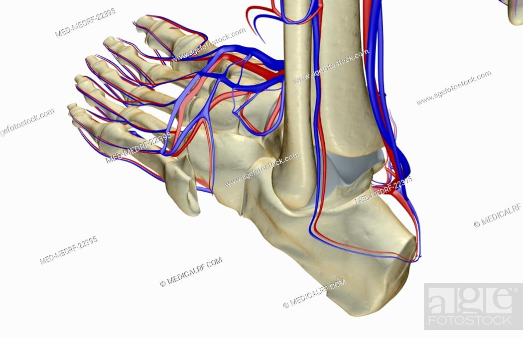 Stock Photo: The blood supply of the foot.