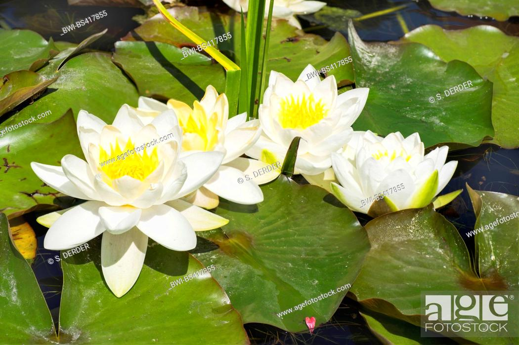 Stock Photo: white water-lily, white pond lily (Nymphaea alba), blooming, Germany, Bavaria, Oberbayern, Upper Bavaria.