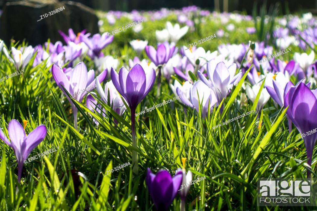 Stock Photo: spring crocuses Montrose. Scotland UK.
