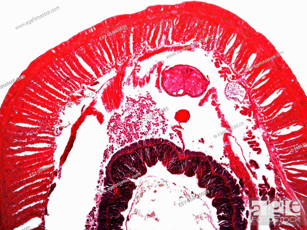 Stock Photo: Cross section of earthworm. Lumbricus terrestris.