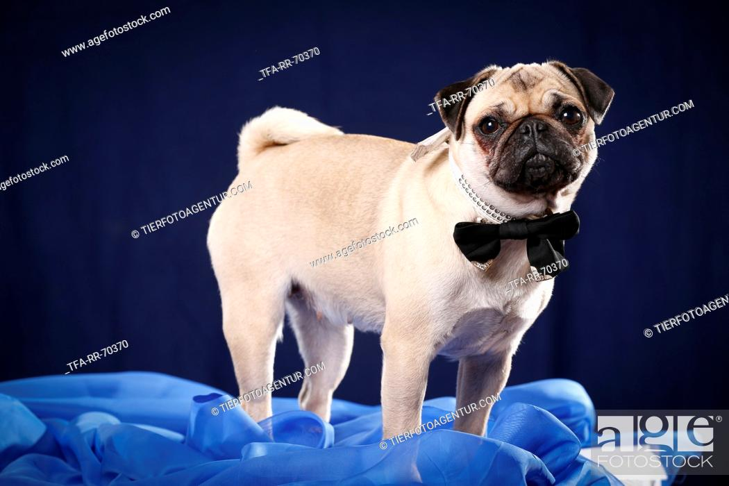 Stock Photo: young pug.