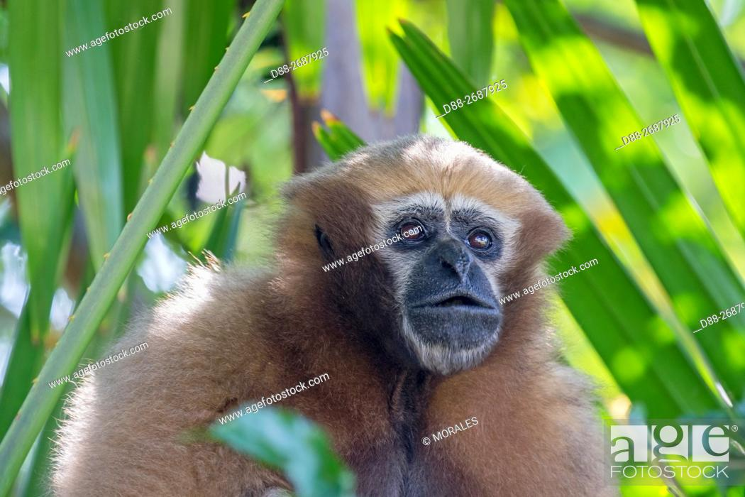 Stock Photo: South east Asia, India, Tripura state, Gumti wildlife sanctuary, Western hoolock gibbon (Hoolock hoolock), adult female howling.