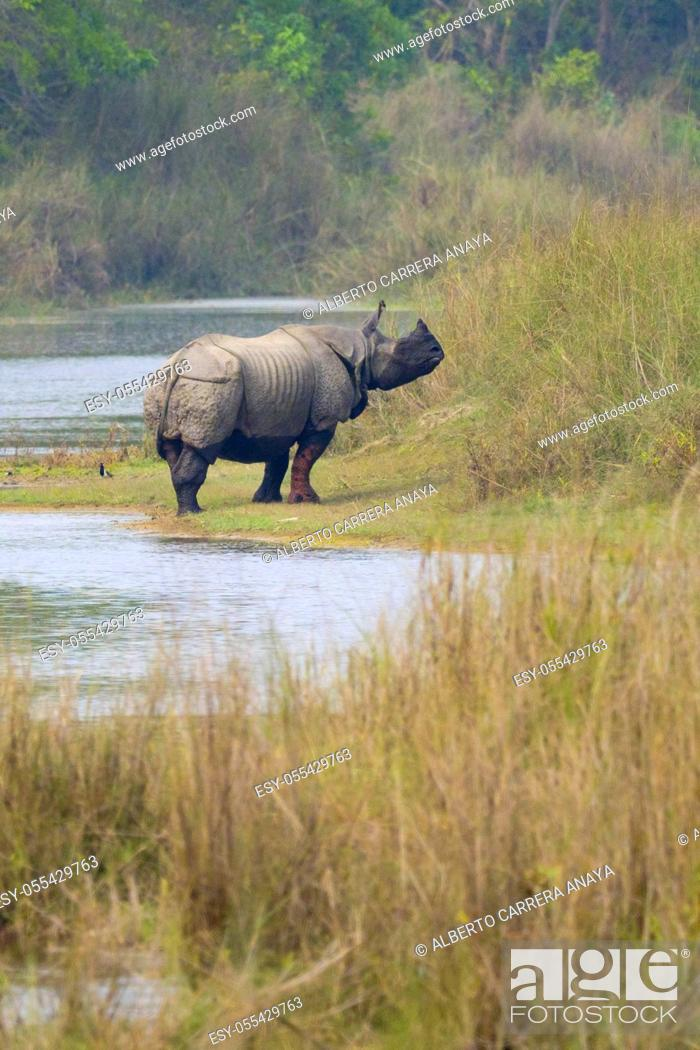 Imagen: Greater One-horned Rhinoceros, Indian Rhinoceros, Asian Rhino, Rhinoceros unicornis, Wetlands, Royal Bardia National Park, Bardiya National Park, Nepal, Asia.