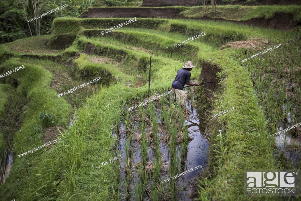 Stock Photo: A farmer working in the rice field terraces in Ubud, Bali, Indonesia.