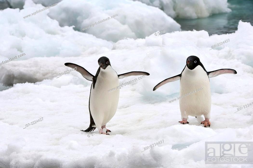 Imagen: Two Adelie Penguins (Pygoscelis adeliae) on an ice shelf, Brown Bluff, Antarctic Peninsula, Antarctica.