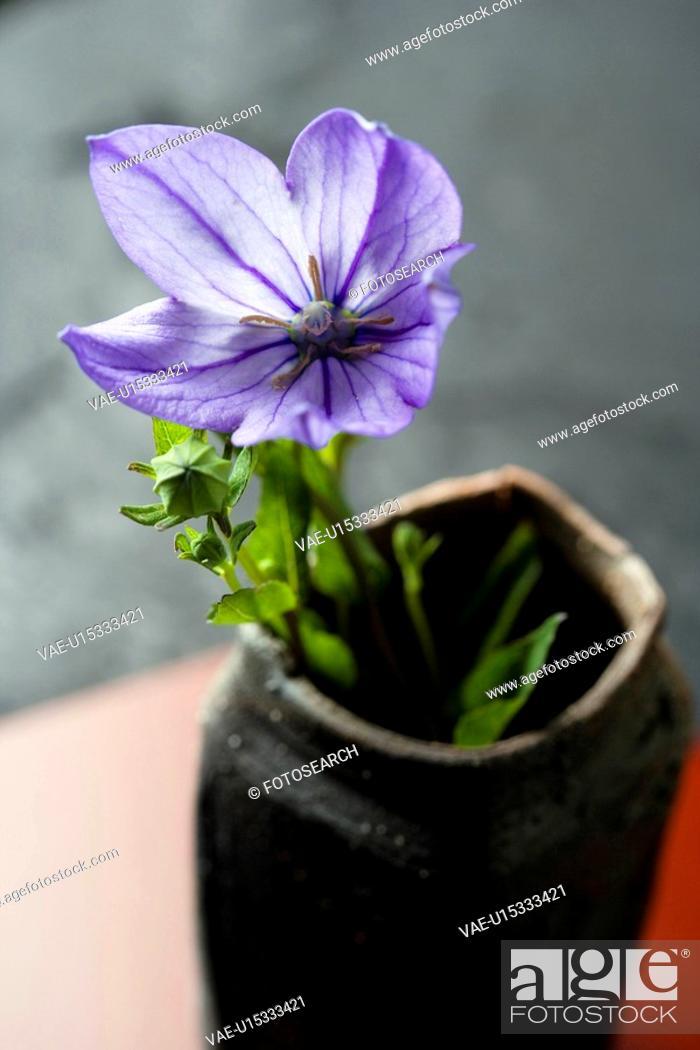 Stock Photo: Bellflower.