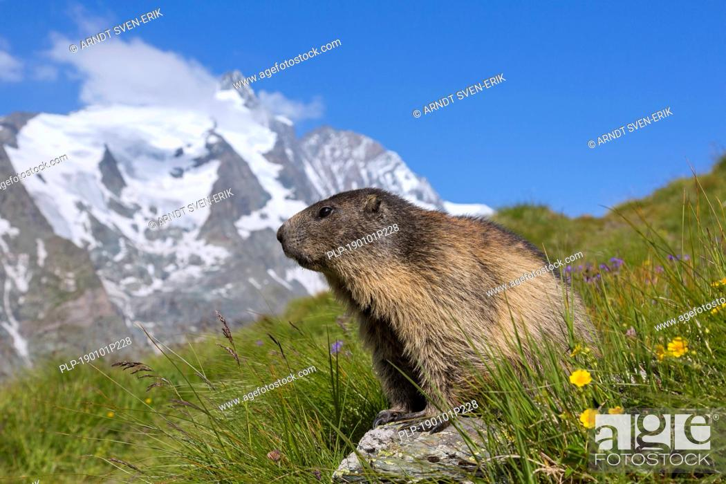 Stock Photo: Alpine marmot (Marmota marmota) in front of the snow covered mountain Grossglockner, Hohe Tauern National Park, Carinthia, Austria.
