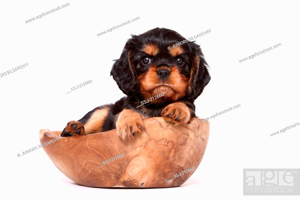 Stock Photo: Cavalier King Charles Spaniel. Puppy (6 weeks old) lying in a wooden bowl. Studio picture against a white background. Germany.