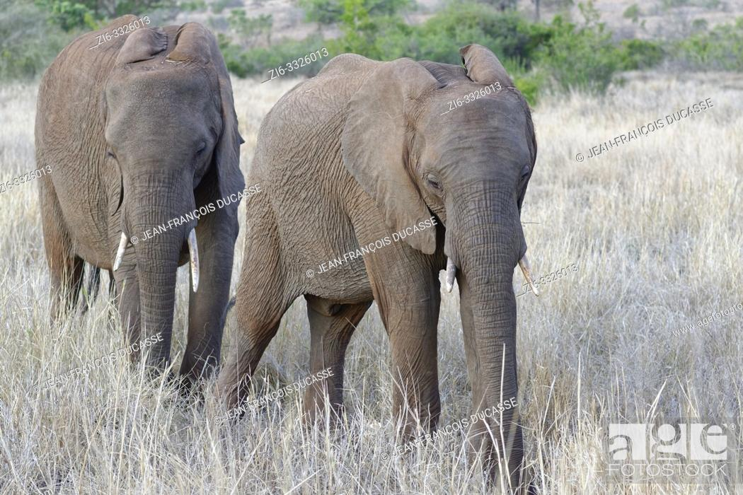 Stock Photo: African bush elephants (Loxodonta africana), two young males feeding on dry grass, Kruger National Park, South Africa, Africa.