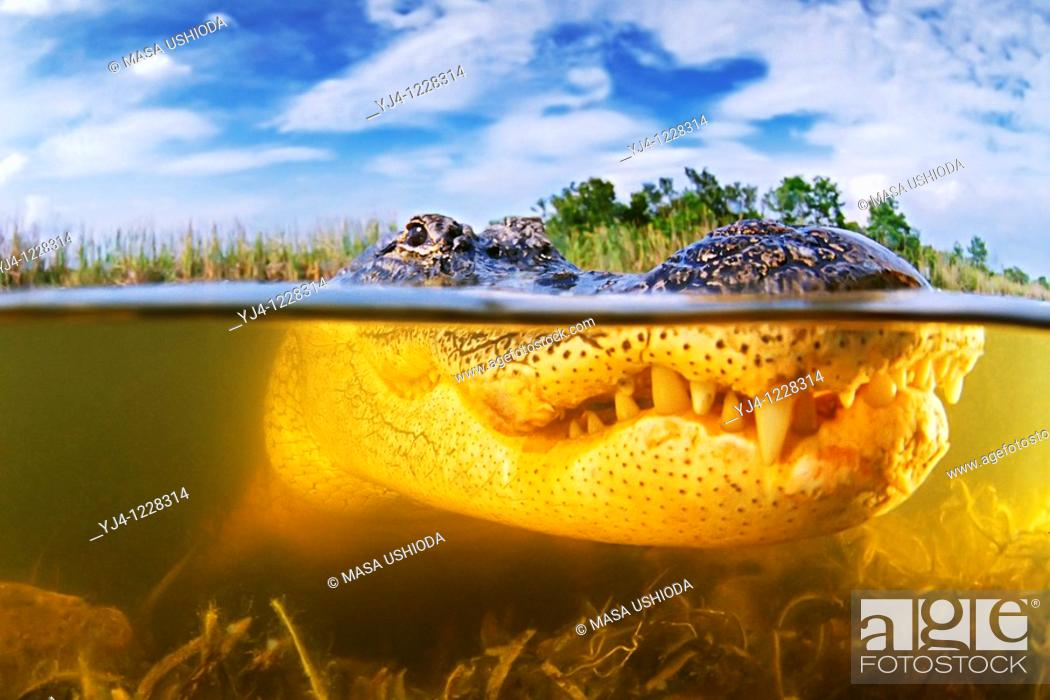 Stock Photo: American alligator, Alligator mississippiensis, Everglades National Park, Florida.