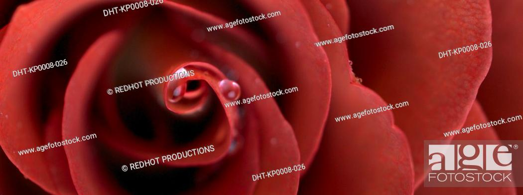 Stock Photo: Red Rose close up.