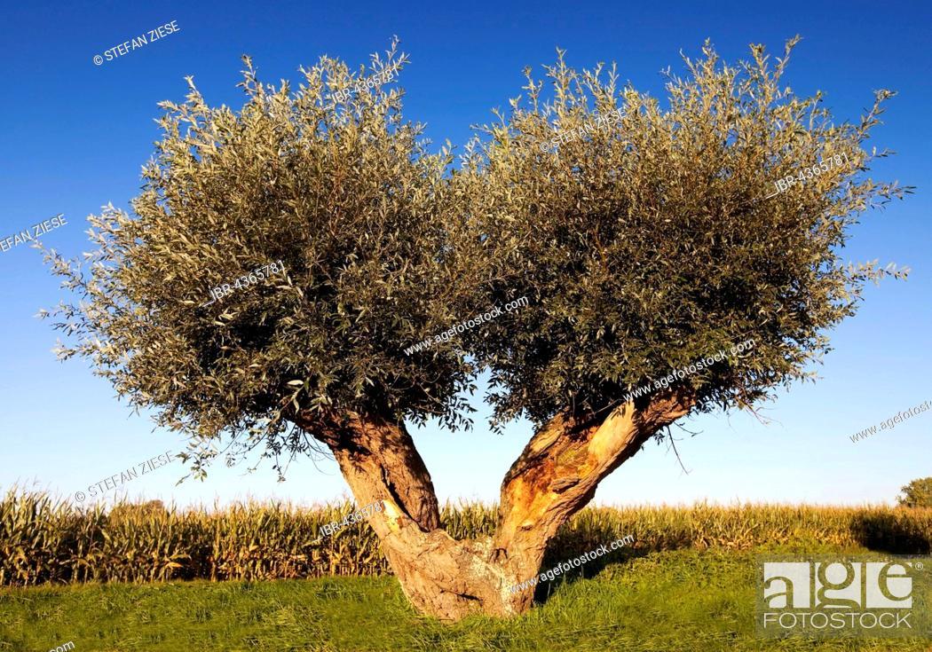 Stock Photo: White willow tree (Salix alba), Rees, Lower Rhine, North Rhine-Westphalia, Germany.