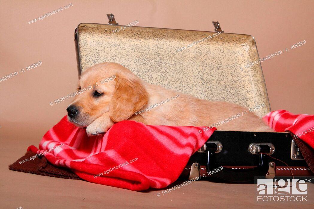 Imagen: Golden Retriever Puppy.