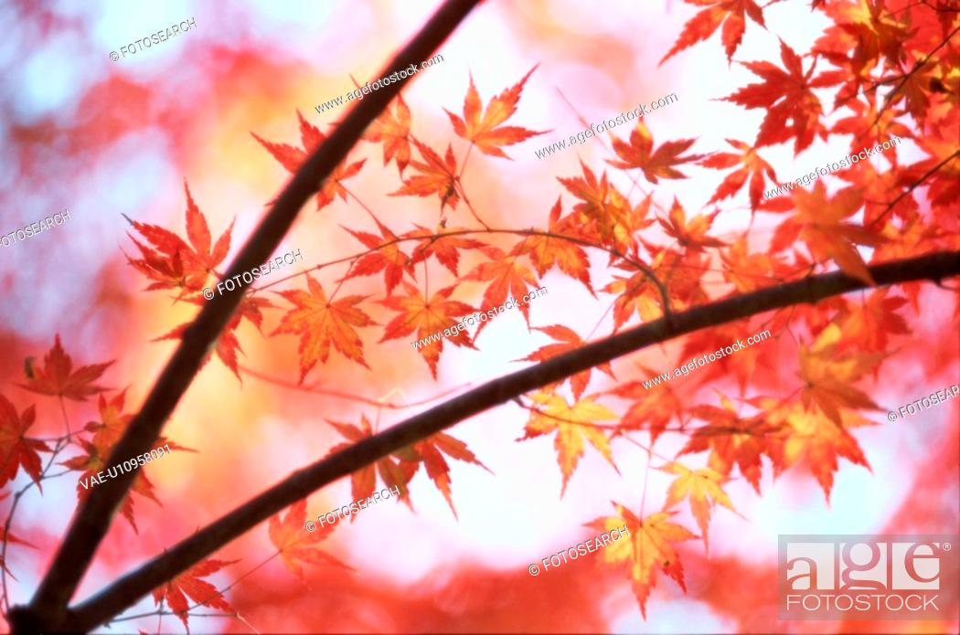 Stock Photo: Leafy Maple Branches In Autumn.