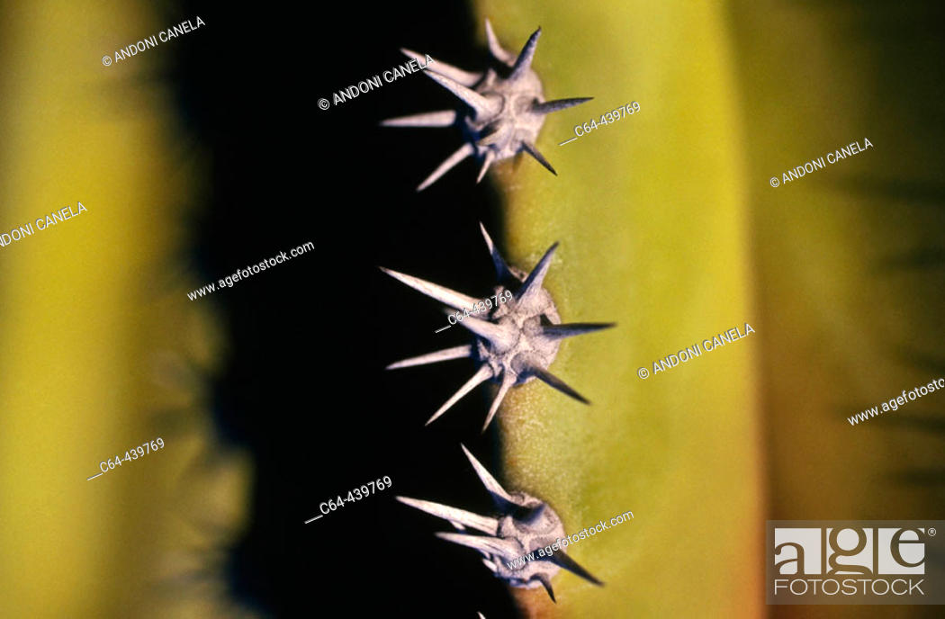 Stock Photo: Saguaro cactus (Pachycereus sp). Vizcaino desert. Baja California. Mexico.